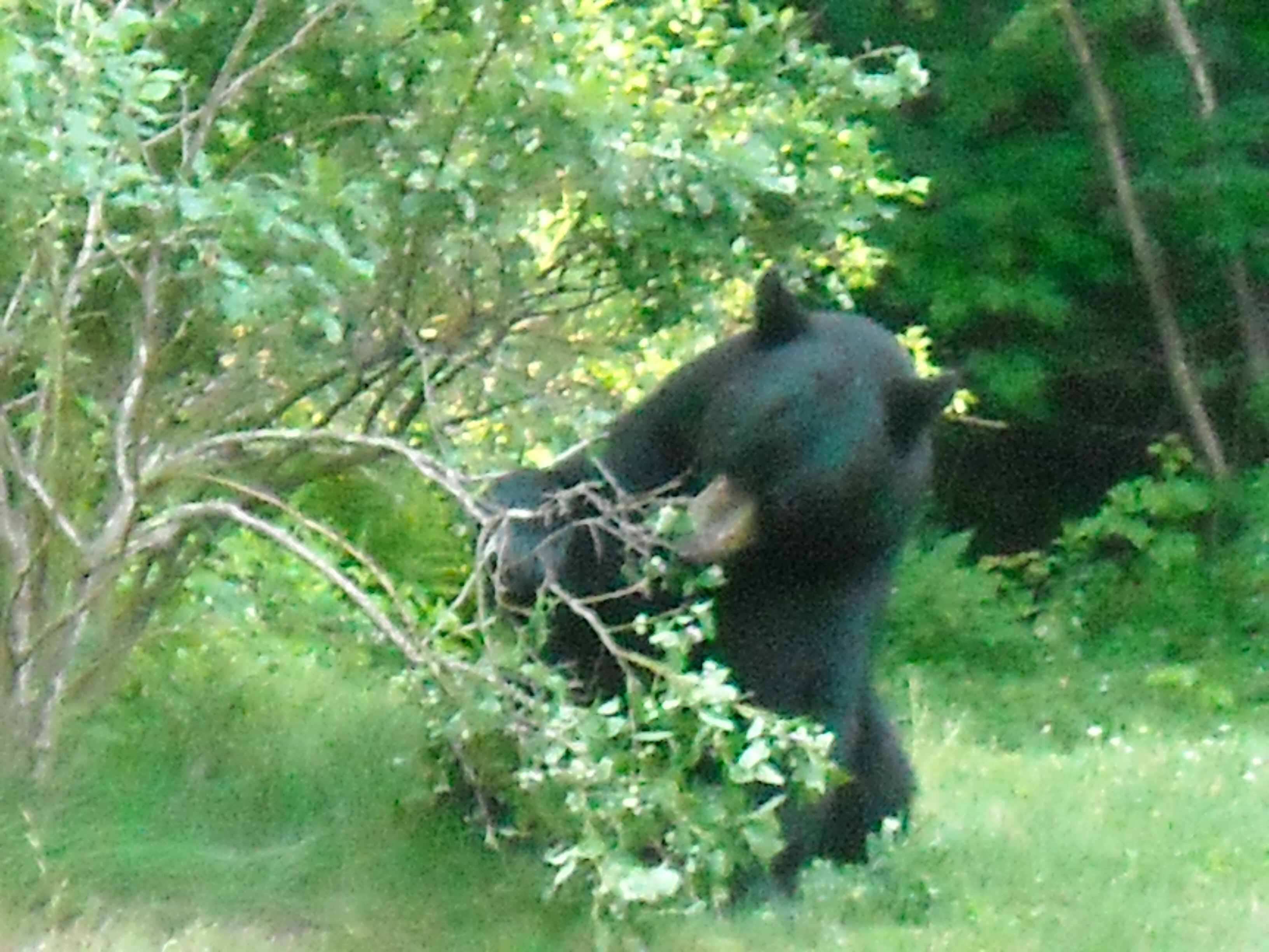 Black Bear Mauling Our Blueberry Bushes June 2010 This
